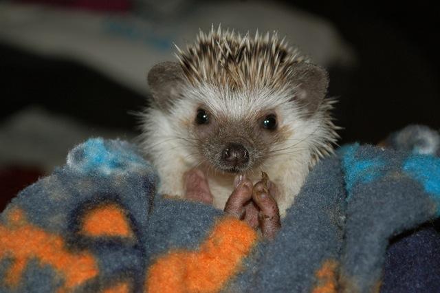 Nugget- African Pygmy Hedgehog